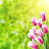 Fond de ressort avec la tulipe Photo stock