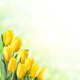 Fond de ressort avec la tulipe jaune Photos stock