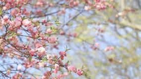 Fond de ressort d'arbre de Sakura clips vidéos