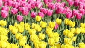 Fond de ressort de champ de tulipe banque de vidéos