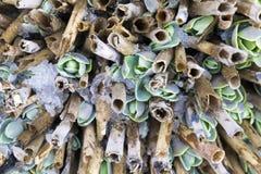 Fond de ressort : les jeunes usines de rosette se développent par le vieux sèchent Image libre de droits