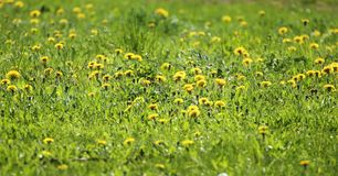 Fond de ressort, pré avec les fleurs jaunes Images stock