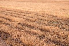 Fond de riz brun en Thaïlande. photo stock