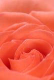 Fond de Rose Images stock