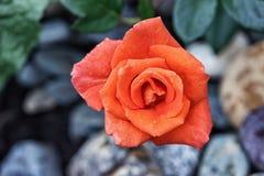 Fond de rose de rouge avec des pierres, baisses de rosée Photo stock