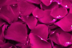 Fond de rose lumineux frais Rose Petals photos stock