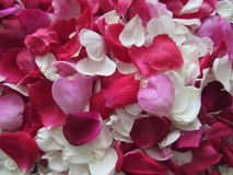 Fond de Rose Petals blanche, rouge et rose Photographie stock libre de droits