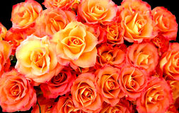 Fond de roses Photographie stock libre de droits