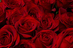 Fond de roses photos stock