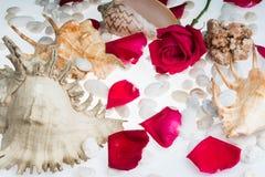Fond de roses rouges de coquille de mer Photos libres de droits