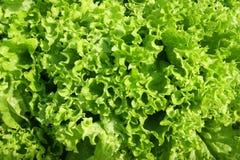 Fond de salade verte Photos stock