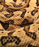 Fond de serpent à sonnettes Photo libre de droits