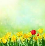 Fond de source avec des tulipes Photos libres de droits
