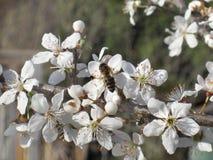 Fond de source Fleurs de floraison de pureté et abeille de travail image libre de droits