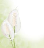 Fond de Spathiphyllum Photos stock