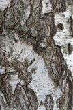 Fond de texture d'écorce de bouleau photographie stock libre de droits