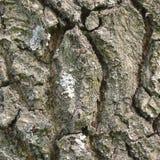 Fond de texture d'écorce de chêne, modèle texturisé vertical, grand plan rapproché rocailleux détaillé de tronc d'arbre macro, vi Image stock