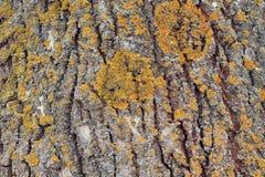 Fond de texture d'écorce de peuplier avec le lichen Fin vers le haut Photo stock