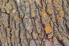 Fond de texture d'écorce de peuplier avec le lichen Fin vers le haut Image stock