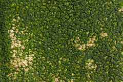 Fond de texture d'algues Photographie stock
