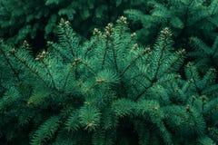 Fond de texture d'arbre de branche de pin concepts de Noël de nature Photos libres de droits