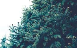 Fond de texture d'arbre de branche de pin concepts de Noël de nature Image libre de droits