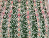 Fond de texture de cactus Images libres de droits