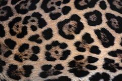 Fond de texture de fourrure de Jaguar avec le beau camouflage repéré photo stock