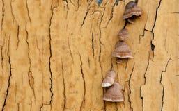 Fond de texture et de modèle de vieux mur en bois avec l'élevage de musroom Photos libres de droits