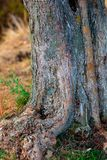 Fond de tronc et racines d'olivier Texture Defocused W photo stock