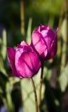 Fond de tulipes de fleur Belle vue des tulipes pourpres dessous Photographie stock libre de droits