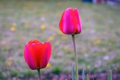 Fond de tulipes de fleur Belle vue des tulipes rouges sous la lumière du soleil Photographie stock libre de droits