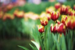 Fond de tulipes de fleur Belle vue de champ de tulipes de couleur Photo libre de droits