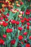 Fond de tulipes de fleur Belle vue de champ de tulipes de couleur Images stock