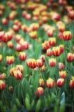 Fond de tulipes de fleur Belle vue de champ de tulipes de couleur Images libres de droits