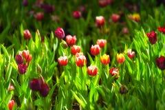 Fond de tulipes de fleur Belle vue de champ de tulipes de couleur Image libre de droits