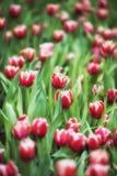 Fond de tulipes de fleur Belle vue de champ de tulipes de couleur Photos stock