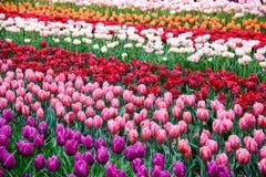 Fond de tulipes de fleur Belle vue des tulipes de couleur Photo stock