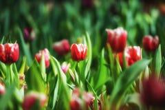 Fond de tulipes de fleur Belle vue des tulipes de couleur Images stock
