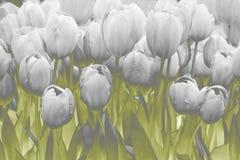 Fond de tulipes, vert et gris photographie stock