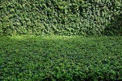 Fond de vert d'arbre de thé de Fukien (retusa de Carmona) Images stock