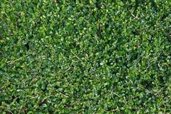 Fond de vert d'arbre de thé de Fukien (retusa de Carmona) Image libre de droits