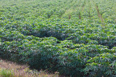 Fond de vert de feuille de manioc Image stock