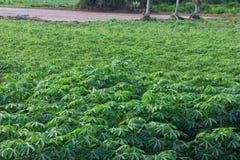 Fond de vert de feuille de manioc Image libre de droits