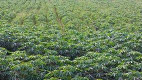 Fond de vert de feuille de manioc Photographie stock