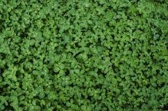 Fond de vert de Motley des feuilles du trèfle Photo libre de droits