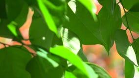 Fond de vert de nature de congé de fond d'Absracts 4K, clip vid?o d'UHD banque de vidéos