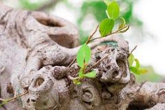 Fond de vigne d'écorce Peut être employé pour des éléments de conception ci-dessus Photo libre de droits