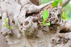 Fond de vigne d'écorce Peut être employé pour des éléments de conception ci-dessus Image stock