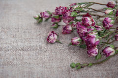 Fond de vintage avec les roses de thé sèches sur le tissu de toile de jute Image libre de droits